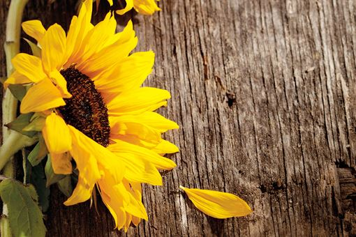 Sunflowers on wooden table